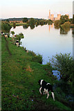 SK4731 : Cows on the banks of the Trent by David Lally