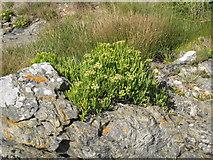 SW5842 : Samphire (Crithmum maritimum) by Rod Allday