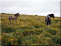 SN1230 : Pony, foal and gorse on the slopes of Talfynydd by ceridwen