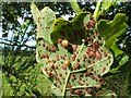 NS3976 : Pea galls on oak by Lairich Rig