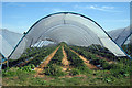 TQ9661 : Polytunnelled Strawberry Field by Oast House Archive