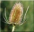 SJ9594 : Teasel (Dipsacus fullonum) by Gerald England
