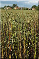 SO8642 : Broad beans, Earl's Croome by Philip Halling