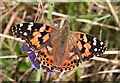 NO6948 : Painted Lady (Cynthia cardui) by Anne Burgess