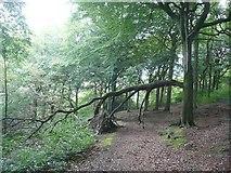 SE0722 : Broken branch, North Dean Wood, Greetland by Humphrey Bolton