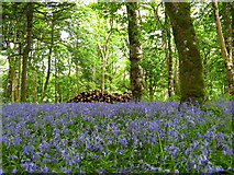 NR4268 : Bluebell  woods by adam sommerville