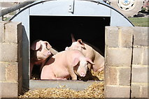 TQ9534 : Pigs at Rare Breeds Centre, Woodchurch by Oast House Archive