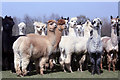 TQ7531 : Lightfoot Alpacas Farm, Slipmill Road, Hawkhurst by Oast House Archive