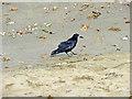 SZ5881 : Rook (Corvus frugilegus) by Christine Matthews