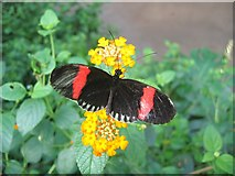 SJ4170 : Tropical Butterfly at Chester Zoo by Jeff Buck