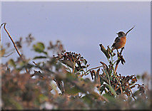 SS9168 : Stonechat and Elderberries - Nash Point by Mick Lobb