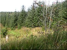 G9034 : Forest at Meenymore by Kenneth  Allen