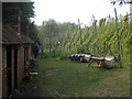 TQ7458 : Hops at The Museum of Kent Life by Oast House Archive