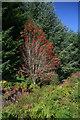NU0809 : Rowan Tree by Peter McDermott