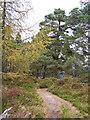 NO0340 : Trees on Birnam Hill by Richard Dorrell