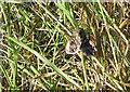 SM9136 : Emperor moth, Saturnia pavonia by Pauline E