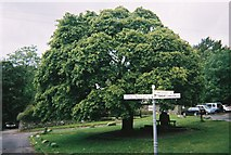 NY3204 : Maple tree at Elterwater Village by Peter S