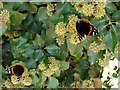 NZ1265 : Red Admiral (Vanessa atalanta) on ivy by Andrew Curtis