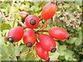 TG0524 : Rosehips on Reepham Road by Adrian Cable