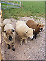 TG0524 : Ryeland Sheep at Mayfield's off Reepham Road by Adrian Cable