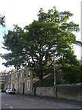 NT2674 : Horse chestnut tree, Brunswick Road by kim traynor