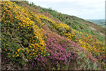 SM8422 : Bank of heather and gorse north of Newgale by Andy F