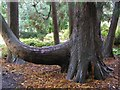 SD3577 : Mature tree, Holker Hall by Kenneth  Allen