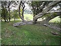 NY6760 : Contorted hornbeam by Oliver Dixon
