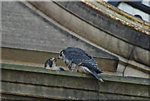SD7109 : Peregrine falcon and chick by Galatas