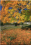 NY3204 : Elterwater's Maple Leaves by Andy Stephenson