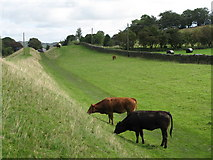NY6366 : Cattle grazing in the north defensive ditch of Hadrian's Wall east of Gilsland by Mike Quinn
