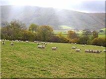 NS7602 : Sheep near Glenwhargen Farm by Oliver Dixon