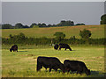 SU8872 : Cattle in pasture, Warfield by Andrew Smith