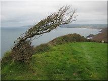 SX1799 : Stunted hawthorn on Bynorth Cliff by Philip Halling