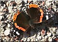 NJ3458 : Red Admiral Butterfly (Vanessa atalanta) by Anne Burgess