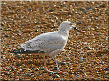 TQ3103 : Young Herring Gull by Christine Matthews