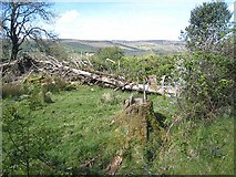 G9017 : Fallen tree, Arigna valley by Oliver Dixon