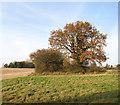 TG3103 : Sunlit oak in autumn foliage by Evelyn Simak