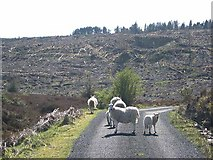 G9119 : Sheep on the road by Oliver Dixon