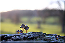 TL8162 : Mini mushrooms in Ickworth Park by Bob Jones
