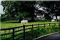 S0740 : Cashel - Grazing cattle near Rock of Cashel by Joseph Mischyshyn