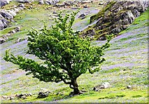 NY1618 : Tree and Bluebells in Rannerdale by Cameraman
