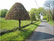 G8111 : Topiary at Drumsoghla by Oliver Dixon