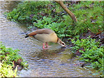 TQ1469 : Foreign Goose, Bushy Park. by Colin Smith
