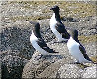 SV8917 : Razorbills on Men-a-vaur, Scilly by John Rostron