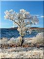 NC4307 : Frosty tree, Glencassley by sylvia duckworth