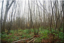 TR1859 : Coppiced trees, Trenleypark Wood by N Chadwick