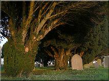 SK7645 : Yews at Sibthorpe by Alan Murray-Rust