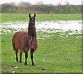 TG4804 : A brown Llama (Lama glama) by Evelyn Simak