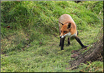 TQ3643 : Fox at the British Wildlife Centre by Cameraman